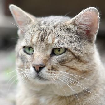 Droevig snuitportret van een grijze gestreepte gestreepte katkat met groene ogen, selectieve nadruk