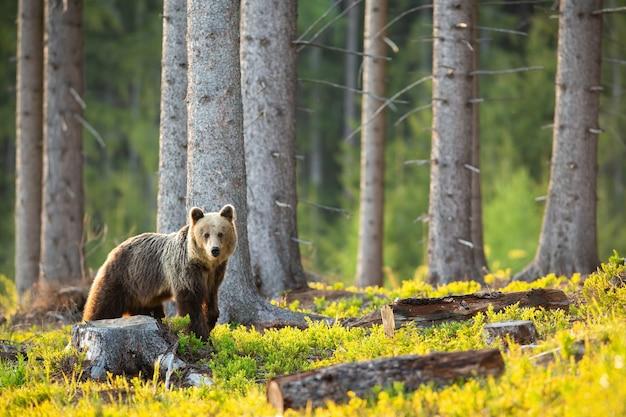 Droevige bruine beer die de boomstronk bekijkt en boom met exemplaarruimte omhakt.