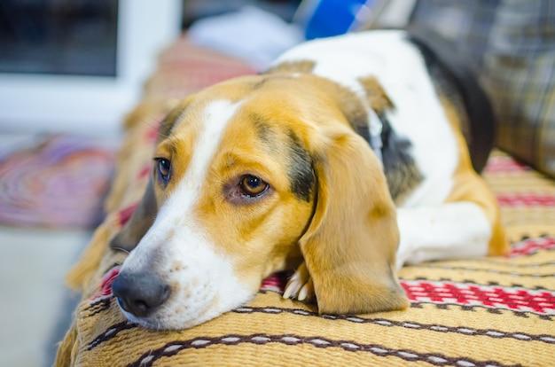 Droevige hond die op de bank ligt en op zijn eigenaar wacht