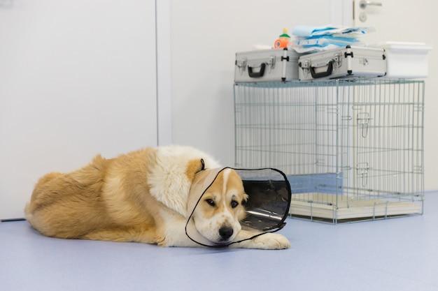 Droevige hond die plastic kegel om hals na chirurgie draagt, die op de vloer in veterinaire kliniek ligt