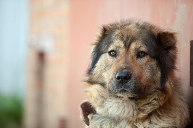 Droevige kaukasische herdershond die op de grond dichtbij het huis ligt