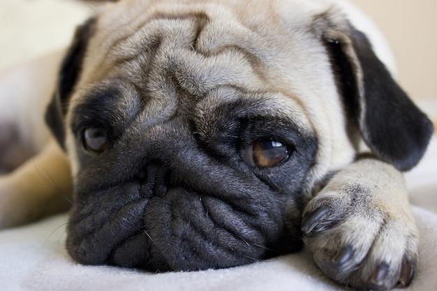 Droevige pug die op het bed legt