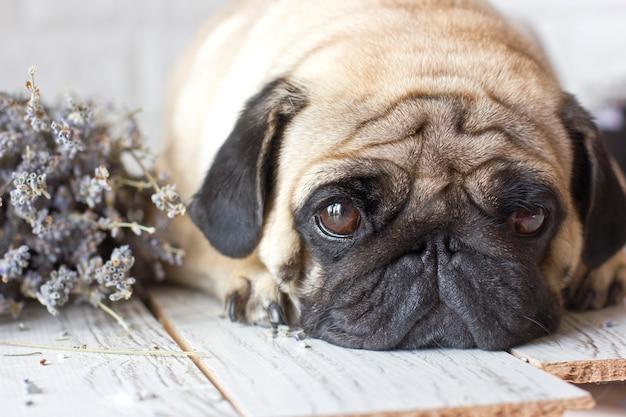 Droevige pug hond met grote ogen die op houten vloer liggen