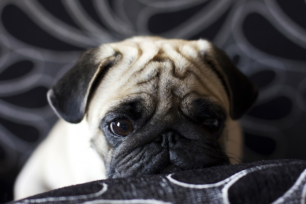 Droevige puppy pug whith grote ogen