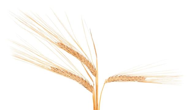 Droge aartjes van tarwe, die op witte ruimte worden geïsoleerd.