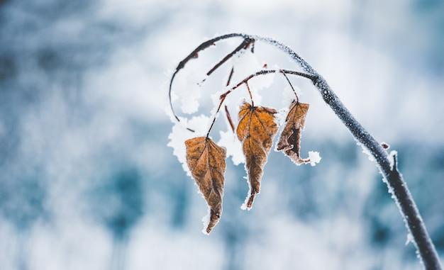 Droge bladeren bedekt met sneeuw en vorst, op een lichtblauwe onscherpe achtergrond