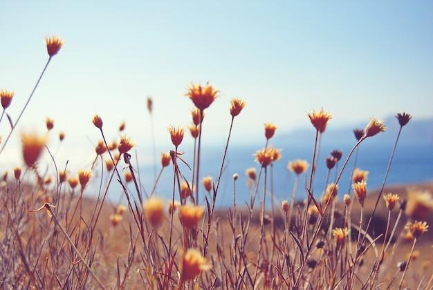 Droge bloemen en kruiden veld tegen blauwe zee en lucht achtergrond
