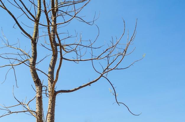 Droge boom en blauwe hemel in de zomer.