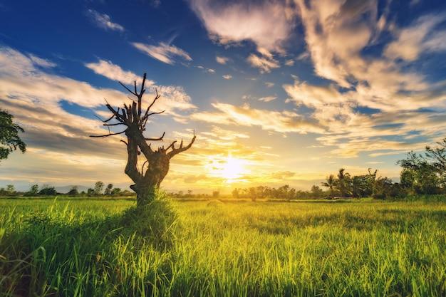 Droge boom in veld weide en prachtige zonsondergang