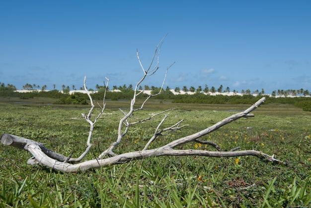 Droge boomtak in de vochtige velden in de buurt van de duinen en de zee van mangue seco beach, bahia, brazilië