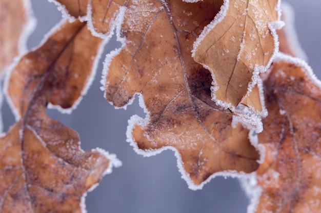 Droge bruine eikenbladeren bedekt met rijp