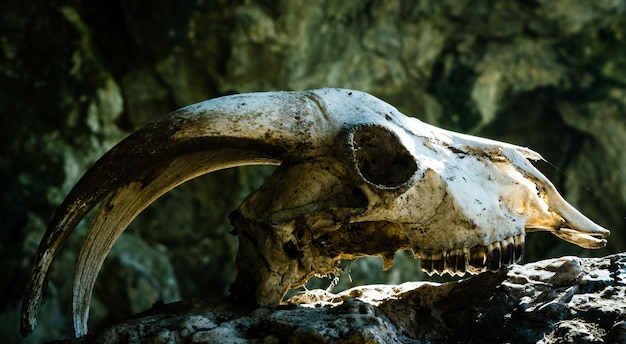 Droge geitenschedel met grote hoorns op een steen, met de stralen van de zon kloppend op zijn voorhoofd.