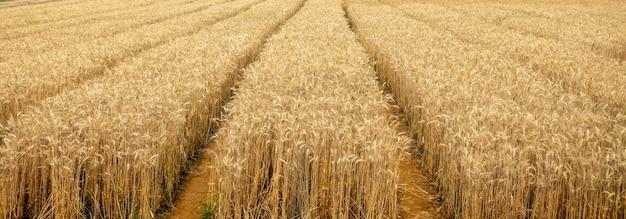 Droge gele tarwe in het veld klaar voor oogst