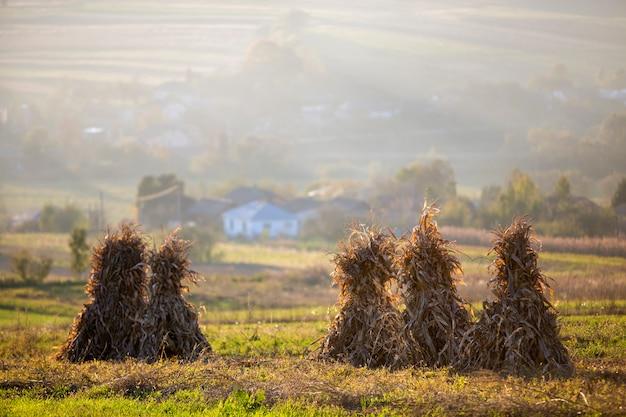 Droge maïs steelt gouden schoven op leeg grasachtig veld na de oogst op mistige heuvels en wolkenloze blauwe hemel
