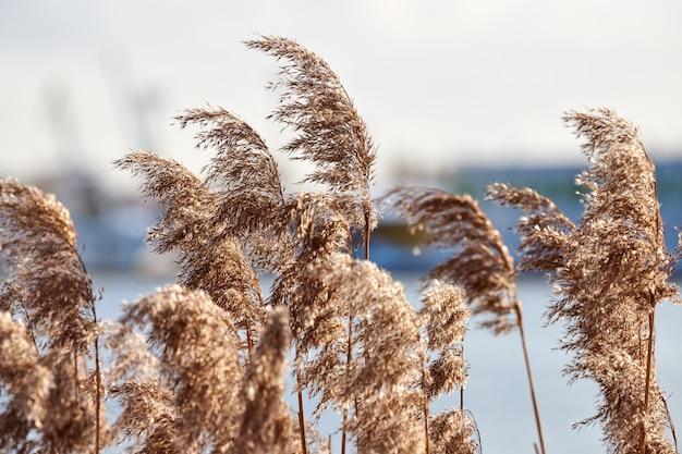Droge rietstengels groeien aan de oevers van de rivier, industriële achtergrond. rivierriet struikgewas, close-up.