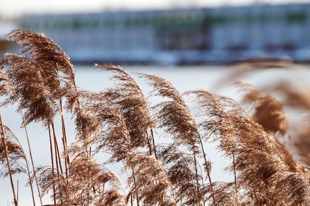 Droge rietstengels groeien aan de oevers van de rivier
