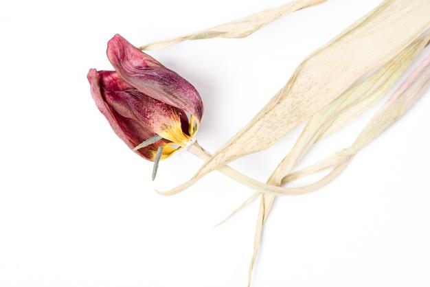 Droge rode tulpenbloem over witte achtergrond. verwelkte bloem.