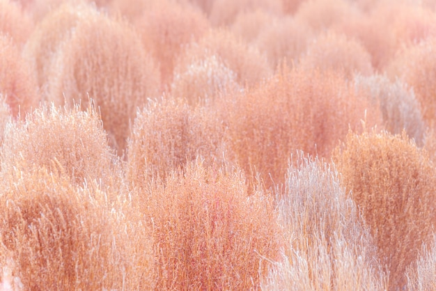 Droge roze kochia in het herfstseizoen