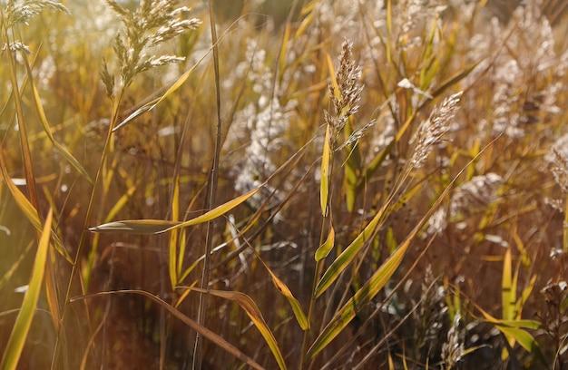 Droge stengels van riet bij de vijver