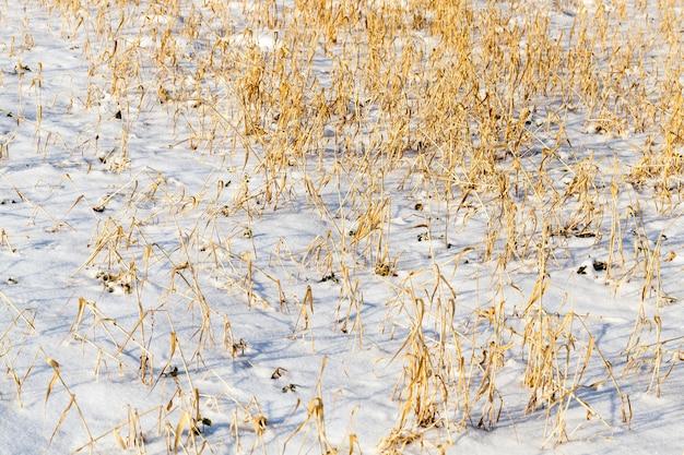 Droge tak van gras in het winterseizoen