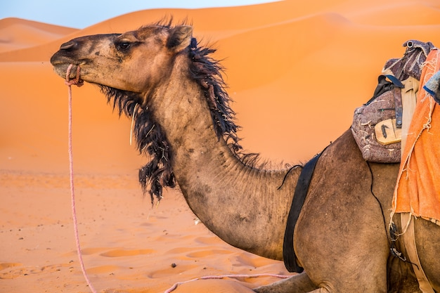 Dromedaris in de woestijn van marokko