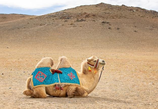 Dromedaris kameel ontspannen op zand. west-mongolië
