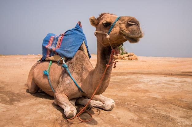 Dromedaris kameel ontspannend
