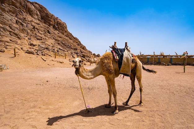 Dromedaris kameel vastgebonden aan punt