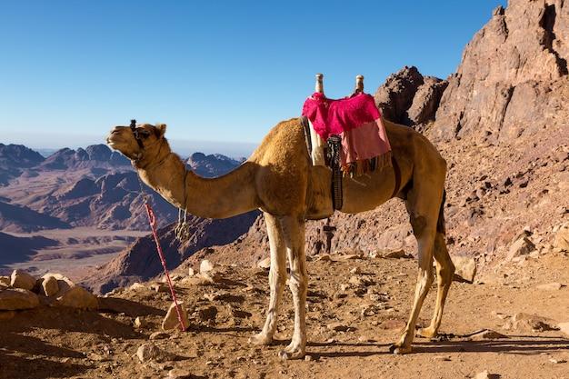Dromedarkameel op de achtergrond van de berg van st. mozes, egypte, sinai