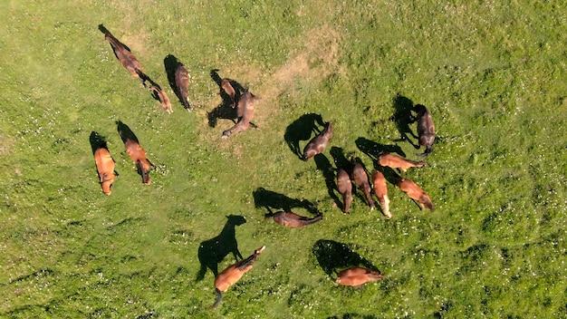Drone vliegt over verschillende bruine paarden staan op de luchtfoto van de groene weide