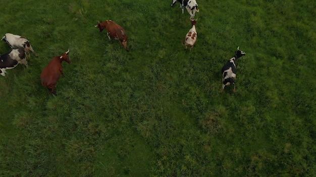 Dronefoto van plein air van rivier en groen veld met kudde koeienbomen op de achtergrond
