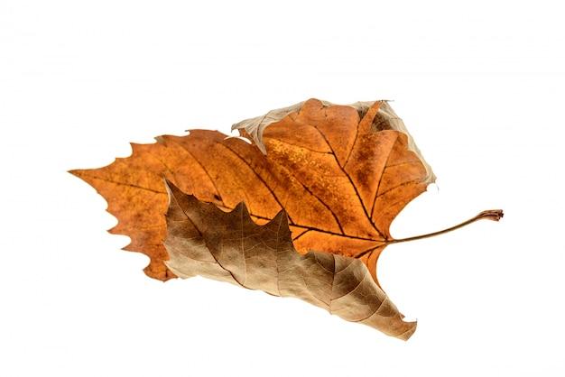 Droog esdoornblad dat op witte achtergrond wordt geïsoleerd. studio shot van een droog esdoornblad.