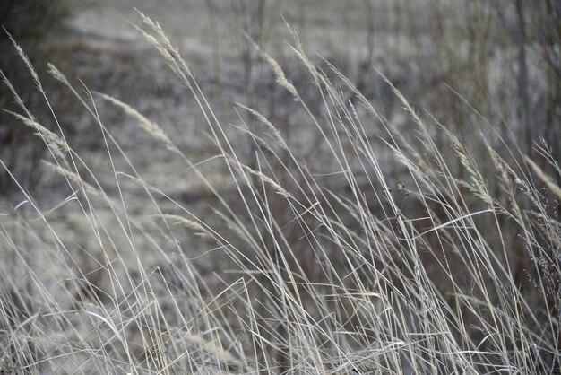 Droog gras zwaait op het veld vanuit de wind