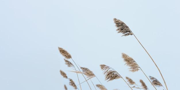 Droog grasriet op meer, tegen blauwe hemel. milieu, gemoedsrust weg van stadslawaai.