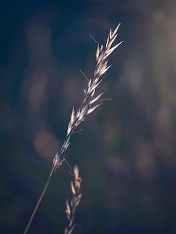 Droog grassprietje bij zonsondergang