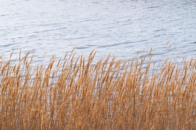 Droog riet in de buurt van de rivier, selectieve focus