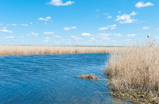 Droog riet op de rivierbank in de lentedag