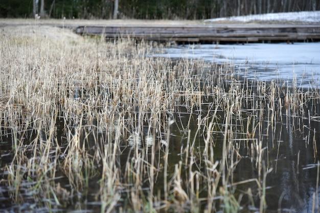 Droog riet op een bevroren meer in de lente