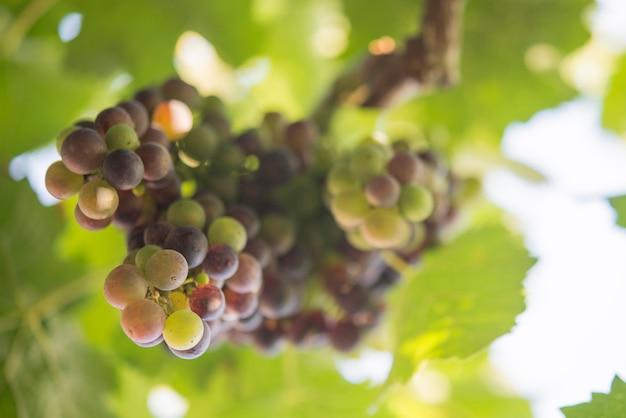 Druif in de bio-wijngaard