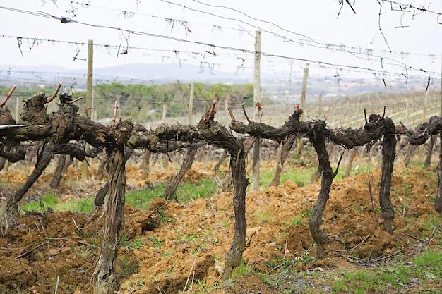 Druif in wijngaard in het vroege voorjaar