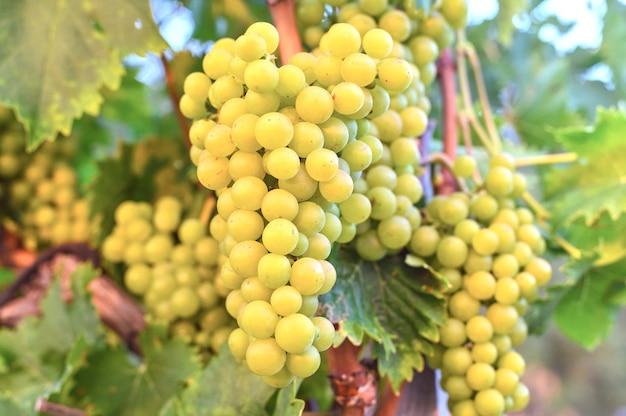 Druiven groeien in de wijngaard