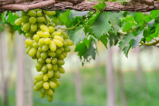 Druiven met groene bladeren op de wijnstok vers fruit