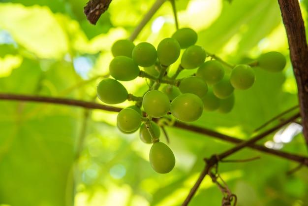 Druiven, mooie nog groene druiven omgeven door wijnbladeren. selectieve aandacht.