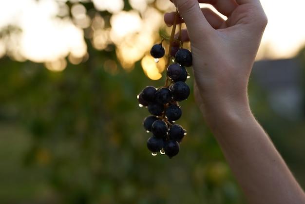 Druiven natuur frisse lucht biologische groene bladeren