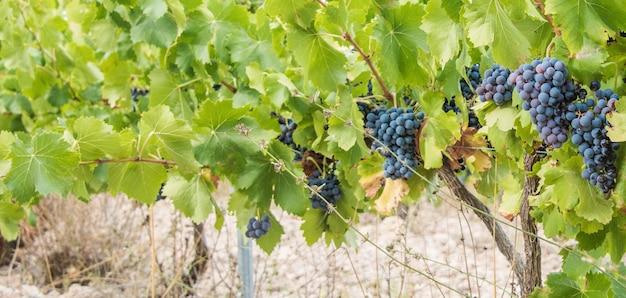 Druiven oogst. weelderige wijndruiven clusters opknoping op de wijnstok.