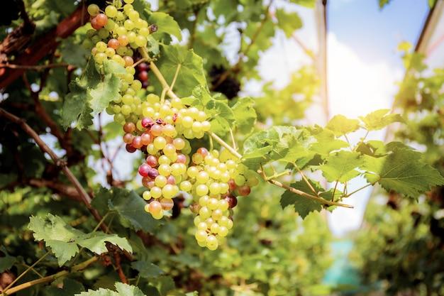 Druiven op boom bij hemel.