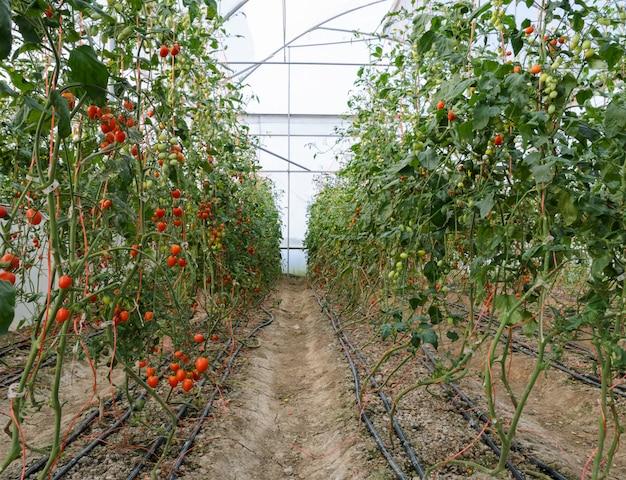 Druiven tomatenplantage