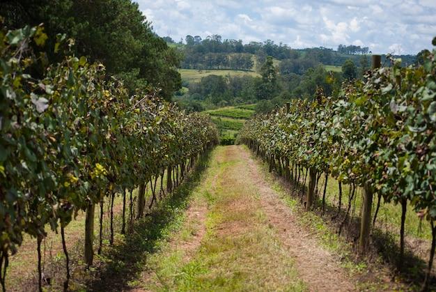 Druivenaanplanting met bewolkte hemel