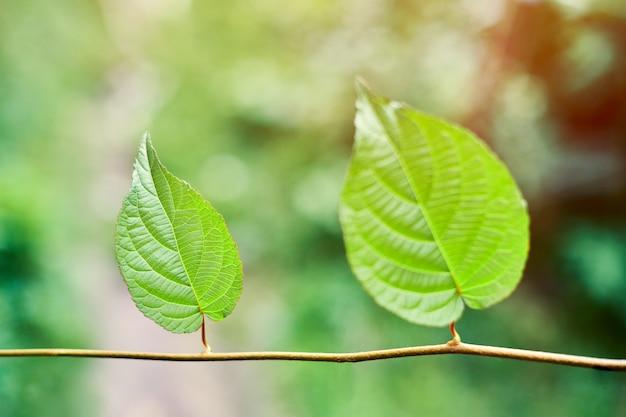 Druivenbladeren in wijngaard. groene wijnstokbladeren bij zonnige september-dag. binnenkort herfstoogst van druiven voor het maken van wijn, jam, sap, gelei, druivenpittenextract, azijn en druivenpitolie.