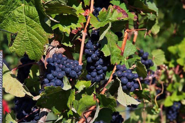 Druivenboom in rijn-vallei in west-duitsland